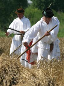 kosidba žita Županja